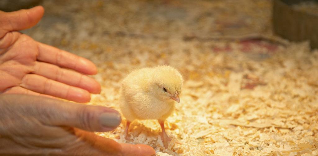 photo credit: Chilliwack Chicken Chick - (license)