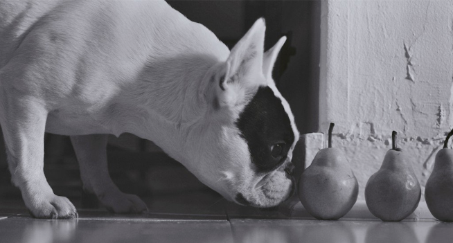 Dog Sniffing Pears
